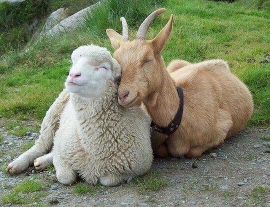 Товары для коз и овец